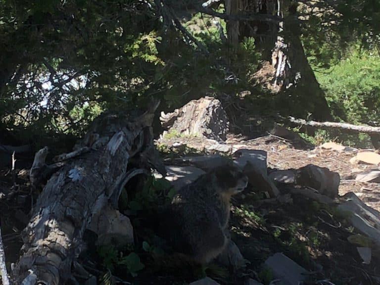 One of many marmot sightings!